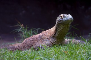 Komodo on grass